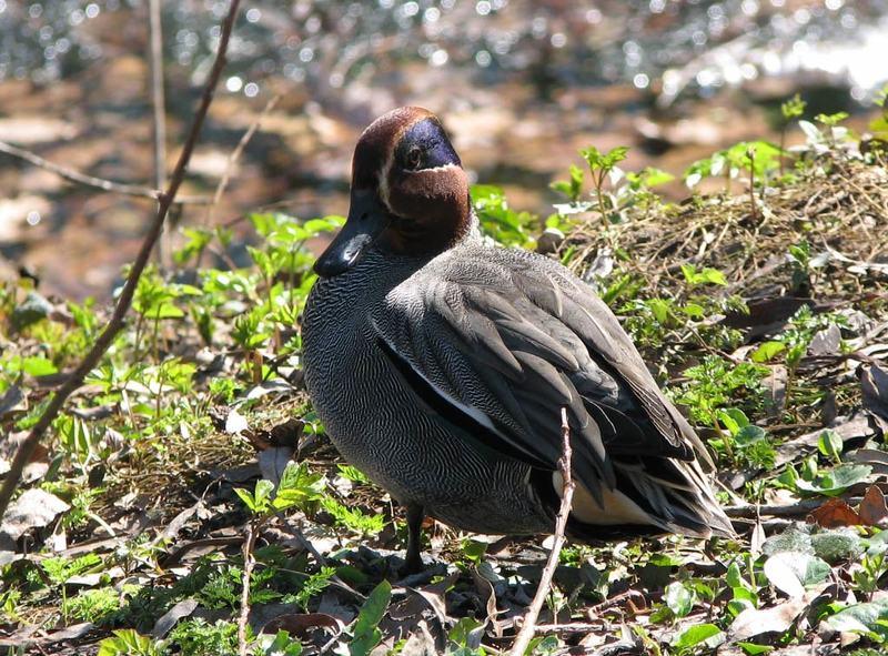 чирок свистунок, утка, весна, Свистунокphoto preview