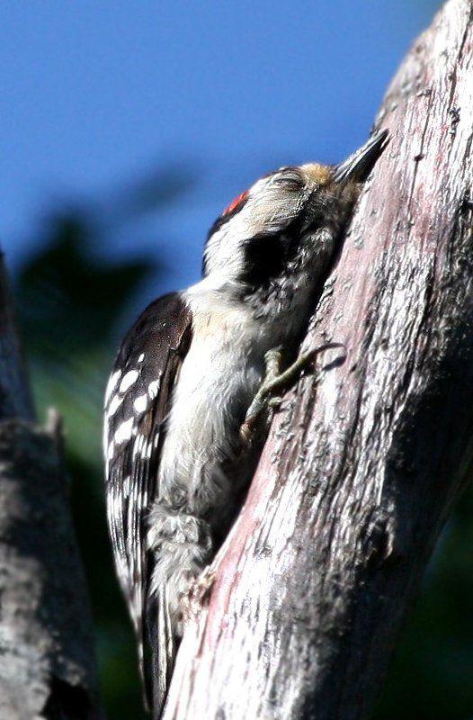 птицы,дятел Тихий часphoto preview