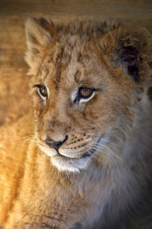 africa, lions Lions - portretsphoto preview