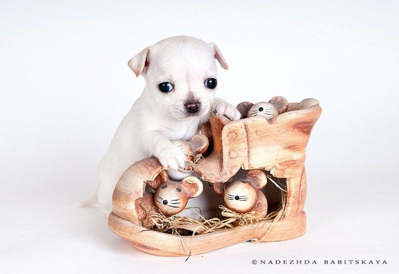 щенки, собаки, чихуа-хуа, dog, puppy ***photo preview