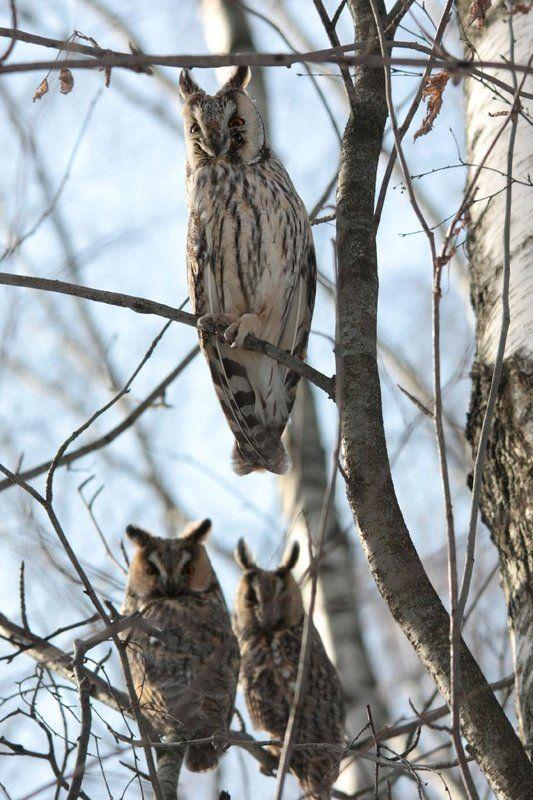 птица, птицы, природа, животные, весна, солнце, сова, совы, ушастая сова, Утренние  совы...photo preview
