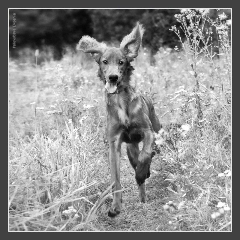 собака, зайка, чаппи, сеттер, бежит, Zaykaphoto preview