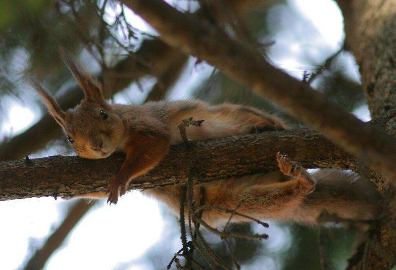 squirrel, pine, animal Животное на соснеphoto preview