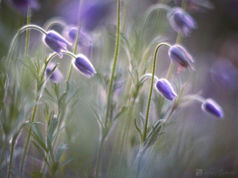 сон-трава прострел даурский утро Весенний сонphoto preview