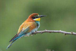 European Bee-eater