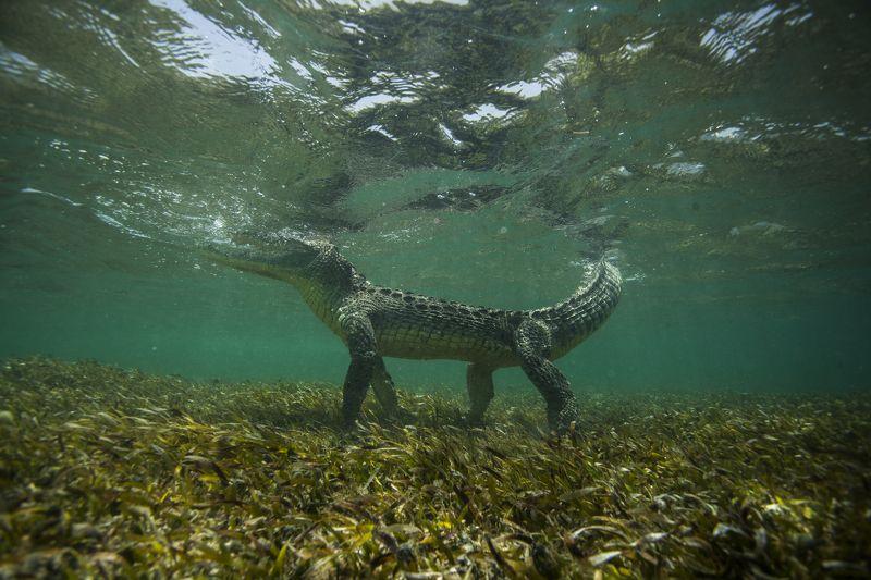 Крокодил, Мексика, Карибское море Летящей походкой...photo preview