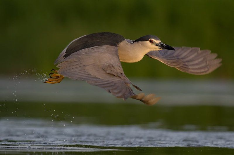 flight, heron, night heron, bird, birds, wild, wildlife, animals, lake, water, sun, sunset, action, bif, birds in flight, bird in flught, borislav, bhristov, borislav hristov, pentax, Bulgaria, Burgas, photography Полетphoto preview