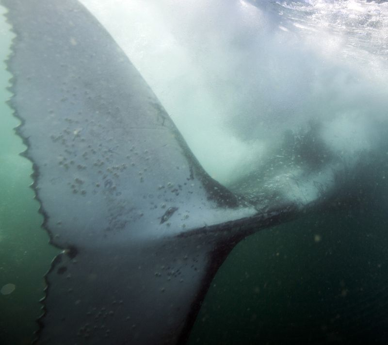 Горбатый кит, хвост Главное - хвост!photo preview