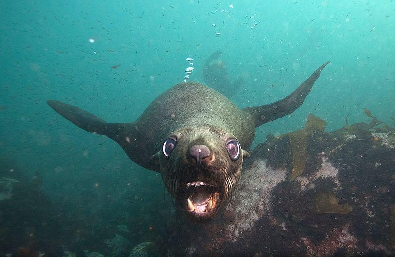 Морской котик, ЮАР Кавабунга!photo preview