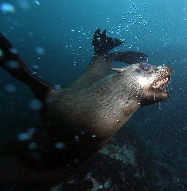Морской котик, ЮАР Вираж!photo preview