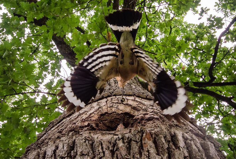 wildlife Удодphoto preview