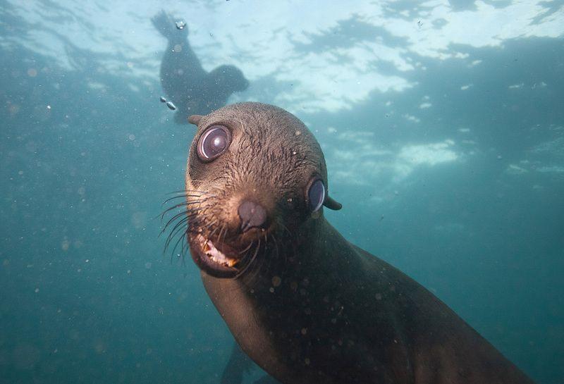 Морской котик, ЮАР Вы кто?photo preview