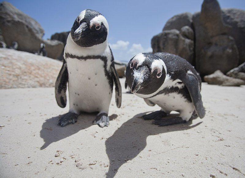 Пингвины, ЮАР Стой, кто идет?photo preview