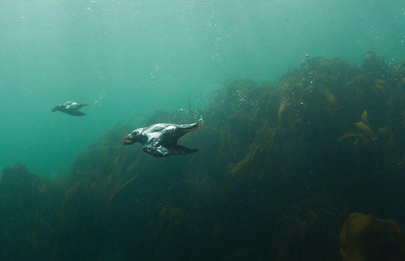 Тупики, Исландия Рыбалка тупиковphoto preview