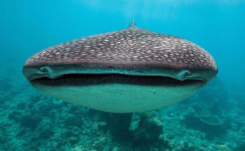 Китовая акула, акулы, Мальдивы портрет китовой акулыphoto preview