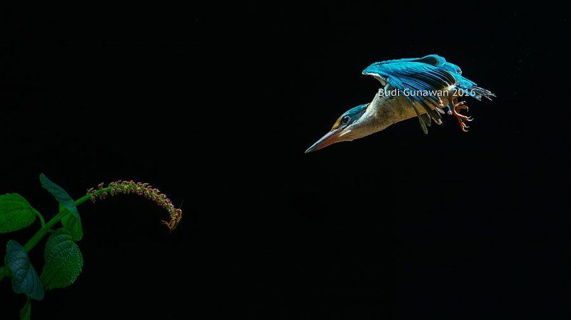 kingfisher, bird, collared-kingfisher, animal,  bulletphoto preview