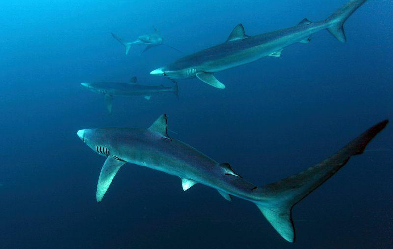 Синие акулы, Акулы Синие акулыphoto preview