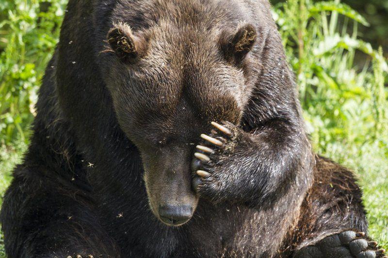 Медведи, Камчатка, Курильское Озеро Стыд!photo preview