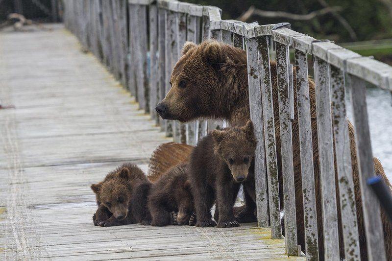 Медведи, Камчатка, Курильское Озеро На мостphoto preview