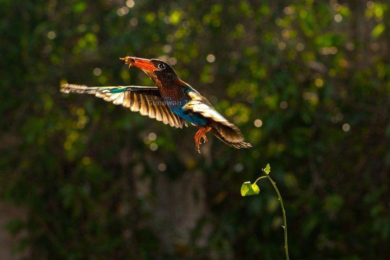 javan kingfisher, kingfisher, kingfisher hunting javan kingfisherphoto preview