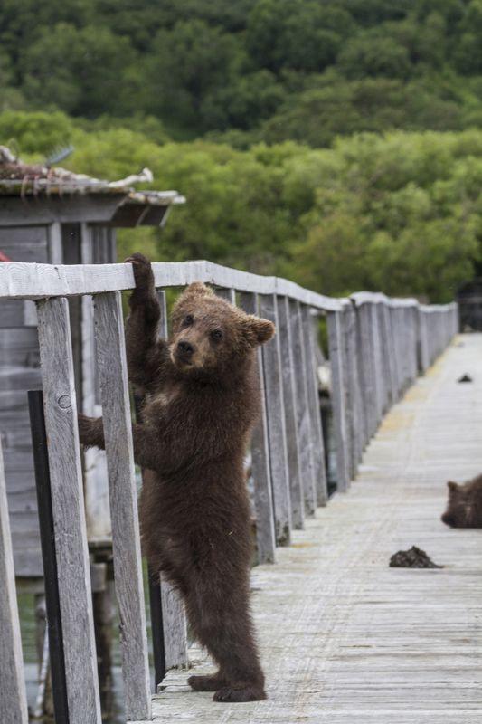 Медведи, Камчатка, Курильское Озеро Измерение ростаphoto preview