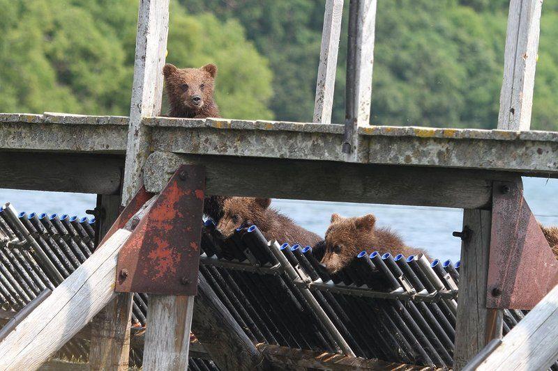 Медведи, Камчатка, Курильское Озеро золотая молодежьphoto preview
