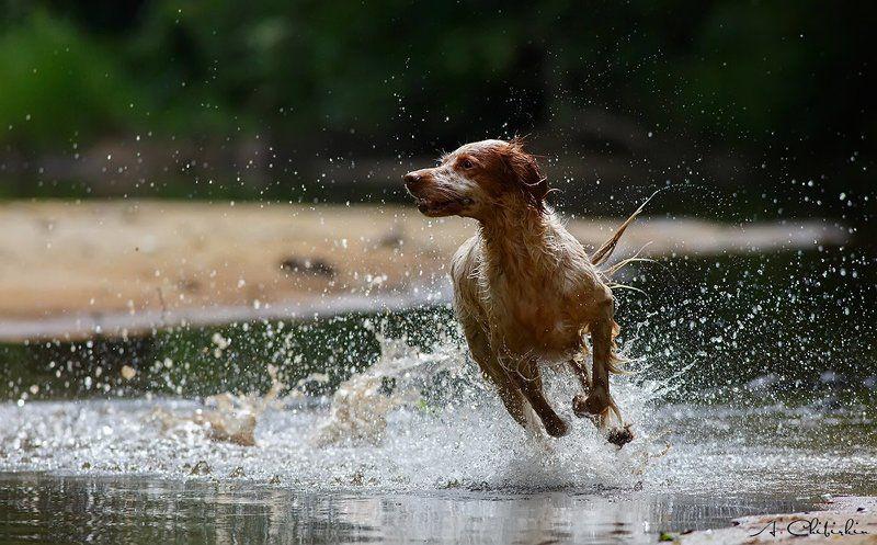 Английский сеттер, Бежит, Лето, По воде, Прогулка, Река, Собака Летние прогулки.photo preview