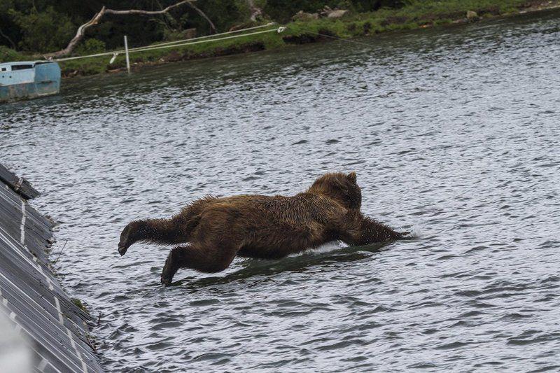 Медведи, Камчатка, Курильское Озеро, Река Озерная Рыбкалкаphoto preview