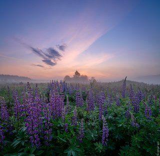 Утренний пейзаж в люпиновом поле