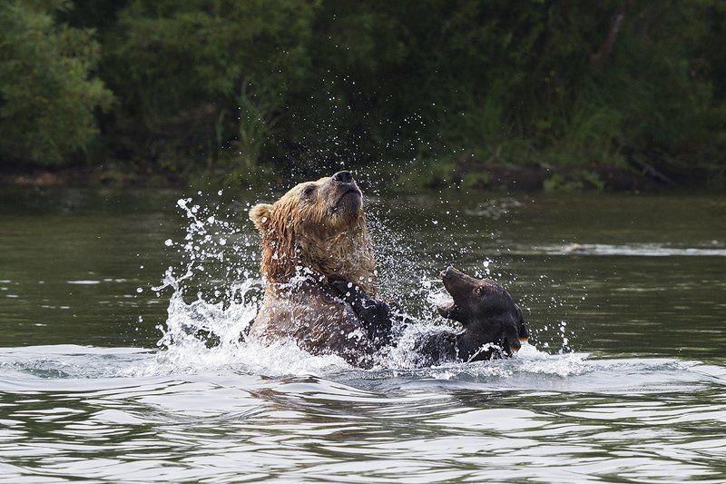 Медведи, Камчатка, Курильское Озеро Убийство на рекеphoto preview