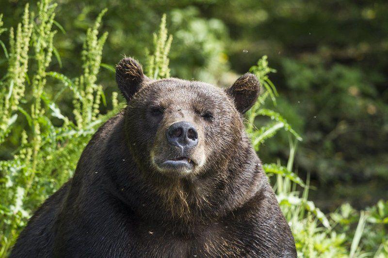 Медведи, Камчатка, Курильское Озеро Убери фотик!photo preview