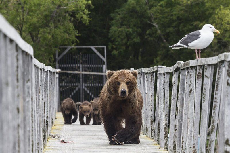 Медведи, Камчатка, Курильское Озеро Встреча на мостуphoto preview
