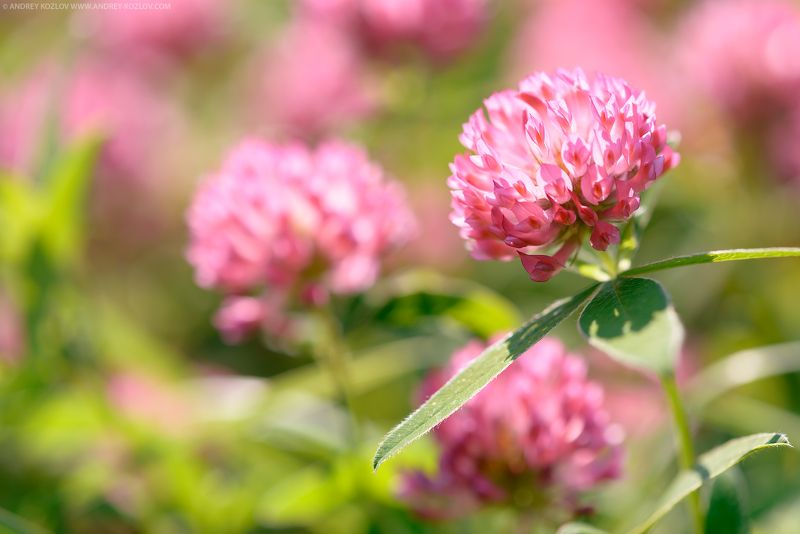 Clover, Colorful, Field, Flower, Flowers, Foliage, Green, Nature, Pink, Sunny, Yellow Clover Flowersphoto preview