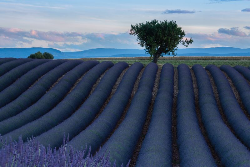 пейзаж, путешествия, лаванда, прованс, франция, лавандовые поля Лавандовое полеphoto preview