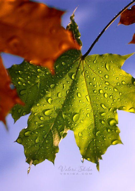 осень,клен,листья Осенние капитошкиphoto preview