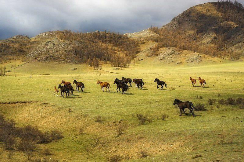 алтай,лошадь,табун На просторах Алтаяphoto preview