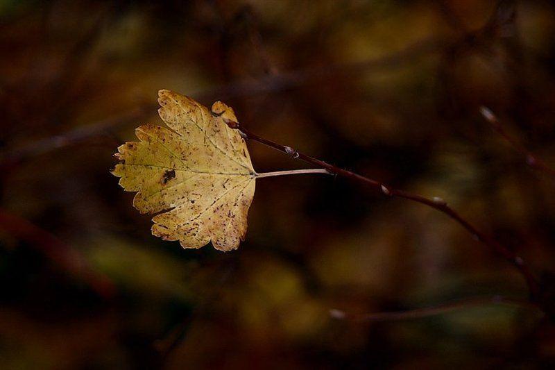 осень, листик, последний Скоро-скоро и он покинет ветку.. Как все его братья и.. все соседки..photo preview
