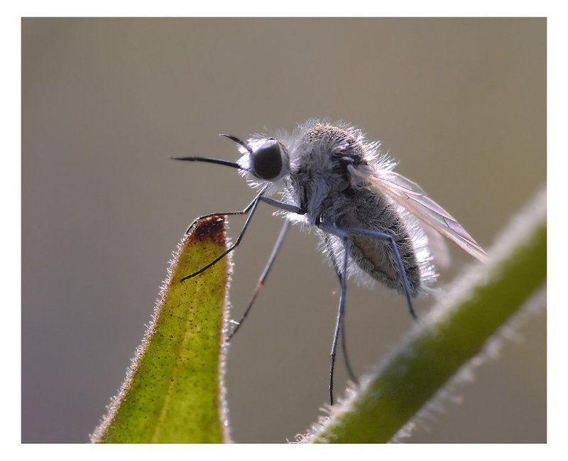bombyliidae, geron, diptera Утро на мысе Айяphoto preview