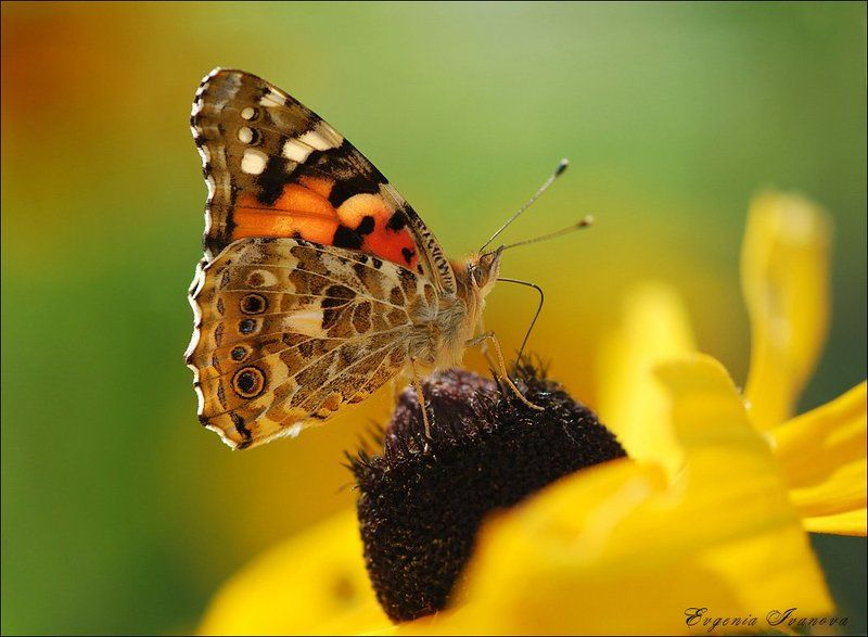 бабочка ,лето,солнце,цветы ...photo preview