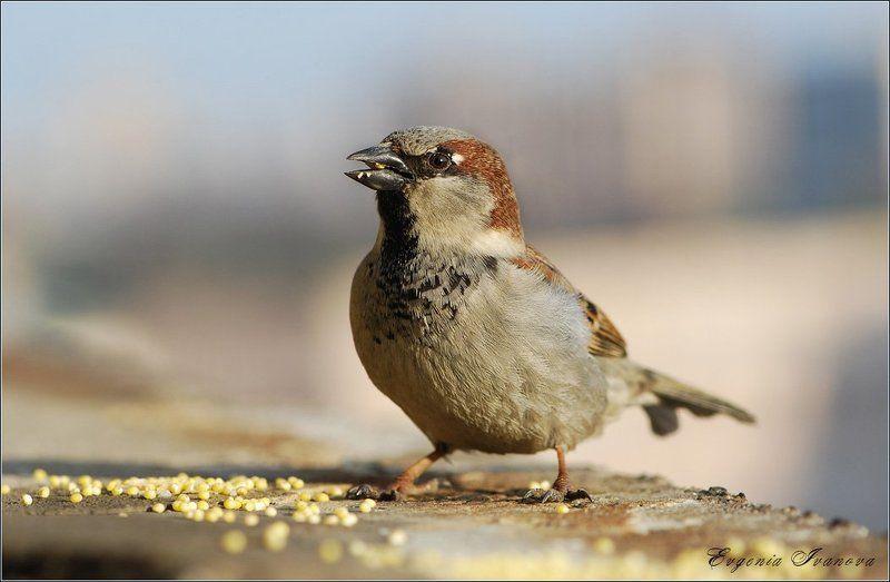 воробей ,птичка ,весна Прожораphoto preview