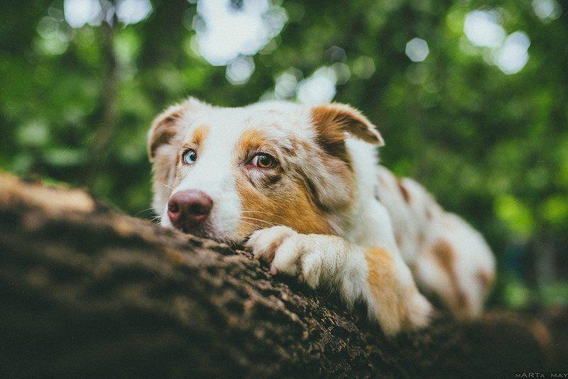собака Моллиphoto preview