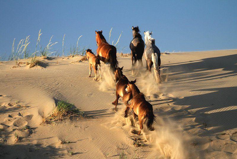 пустыня, монголия, пейзаж, песок, лошади, кони Дикий табун в песках Монгол-Элсphoto preview