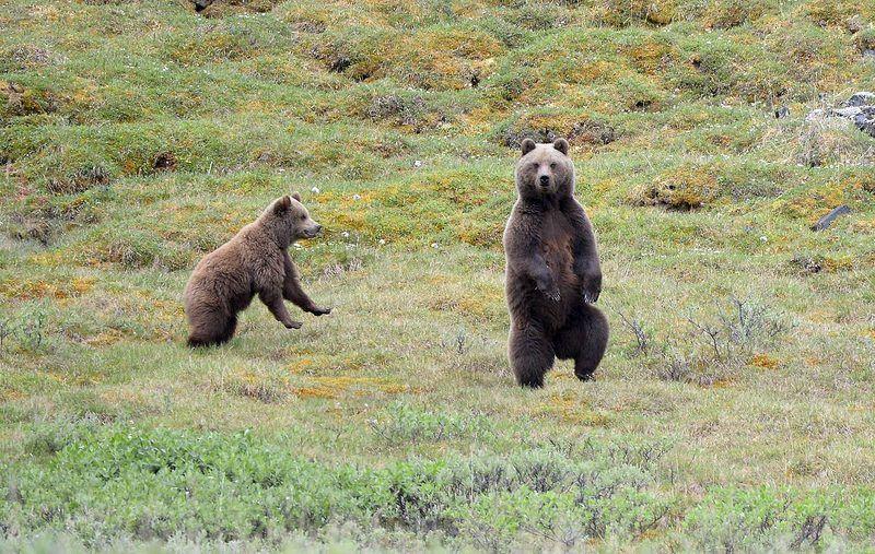 Медведи (не камчатские  :)photo preview