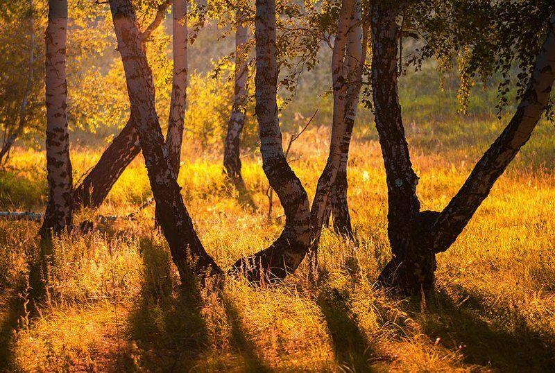 Природа, лес, утро, утро в лесу, березы,  Утро в лесуphoto preview