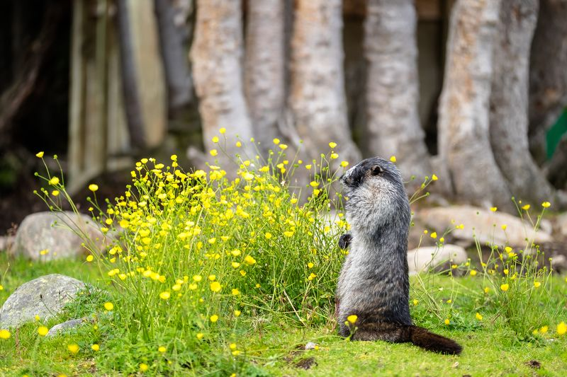 canada, alberta, jasper, marmot, facepalm Достали!photo preview