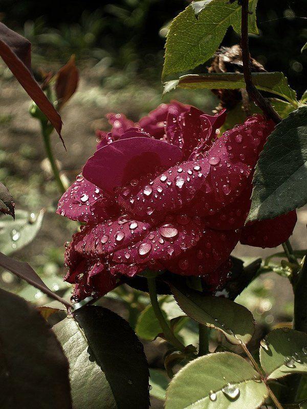 Слезы вечерней росы....photo preview