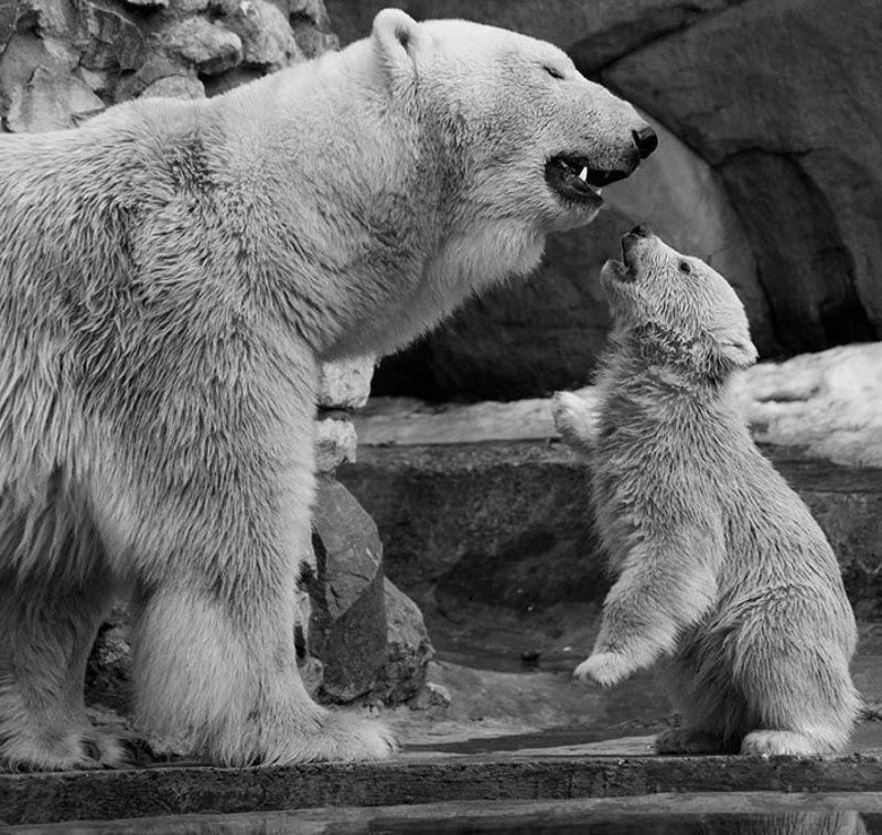белые, медведи Мам, а может мы цирковые?photo preview
