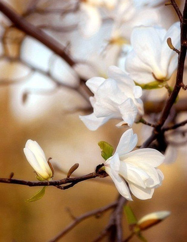 magnolia Magnoliaphoto preview