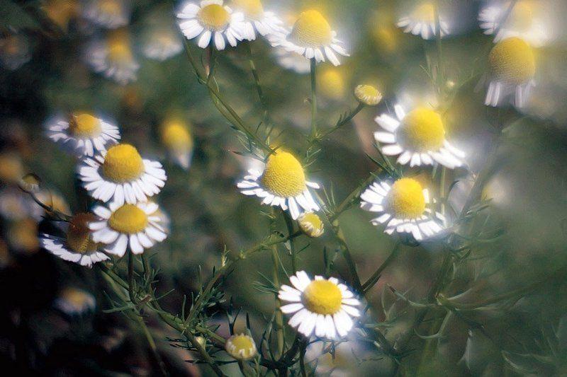 ленсбеби, ромашки, лето Настроение солнца, тепла, света... Ласковое, душистое, ромашковое летоphoto preview