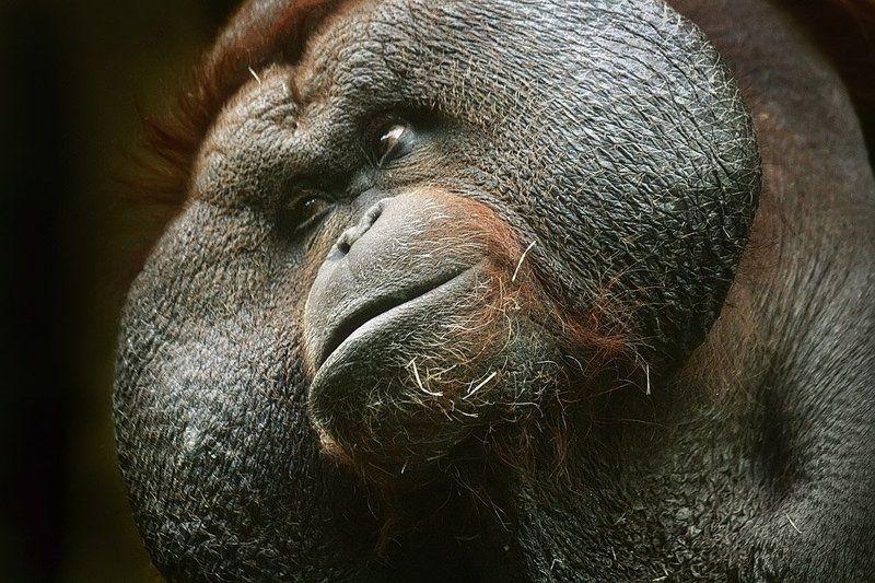 зоо, москва, обезьяна Гигант, силач, тяжеловес... Такой, что еле в кадр пролез..photo preview